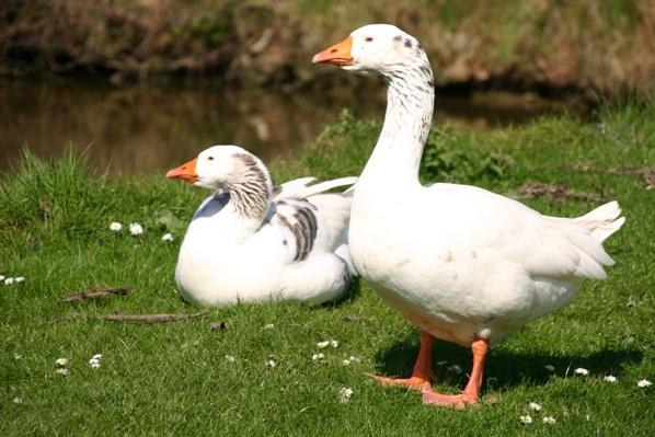 Geese...look...LEFT! by chrisvannamen