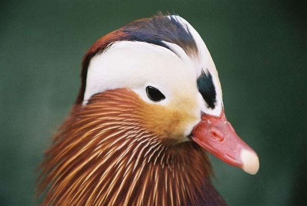 Mandarin Duck by guineapig_75