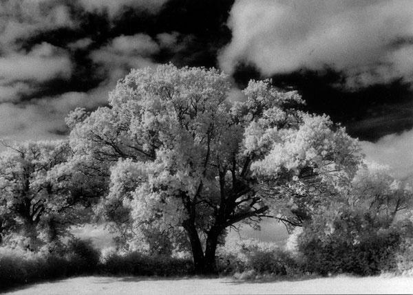 Old Oak Tree by JanetKenyon