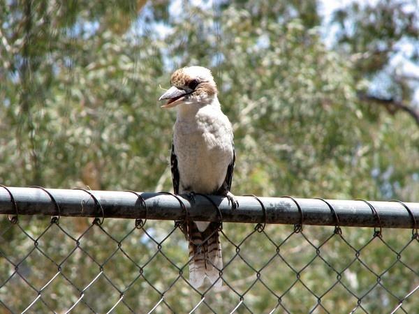Kookaburra by Wadooz