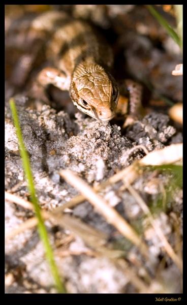 Common Lizard (male) by mohikan22