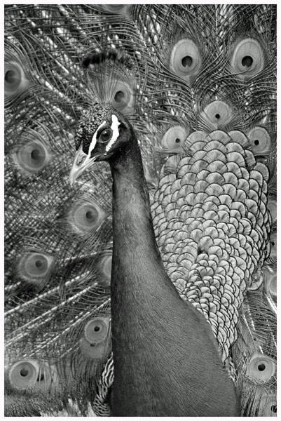 Peacock in B/W by grumpalot