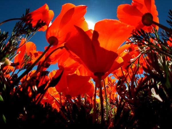PoppyfieldsForever by Aldo Panzieri