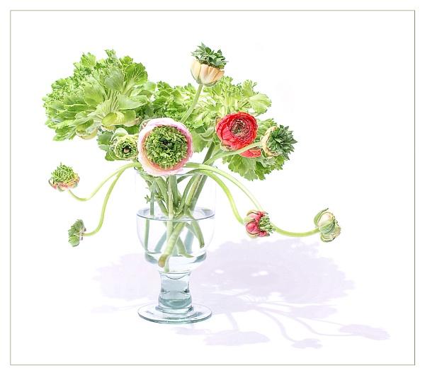 Random Ranunculus by cattyal