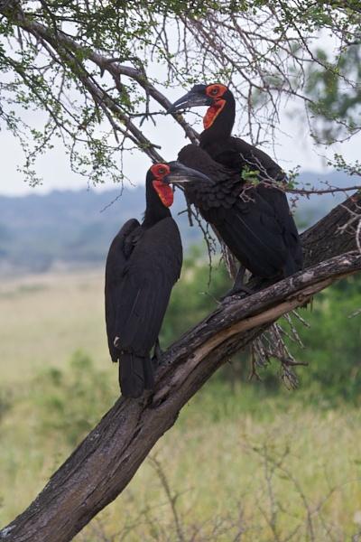 Hornbills by vickyf