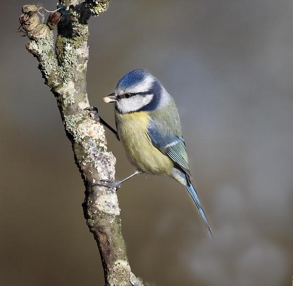 Blue Tit by Alan_Coles