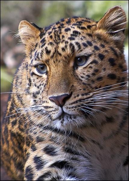 Leopard by GPTek
