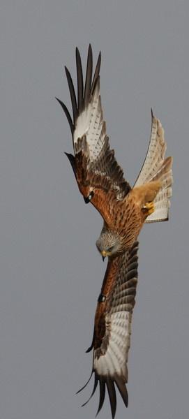 Red Kite by warbstowcross