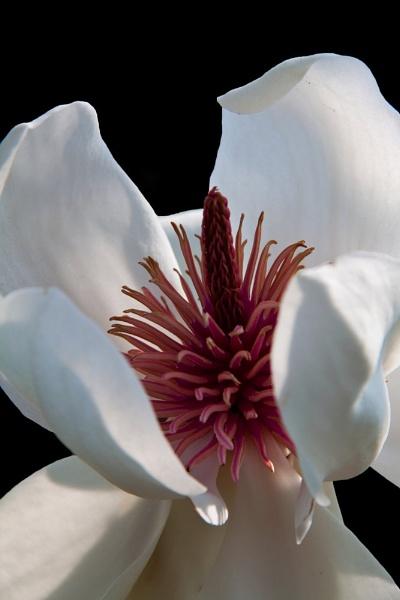 Magnolia by morpheus1955