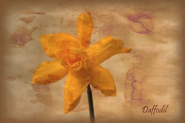 Daffodil by MandsH