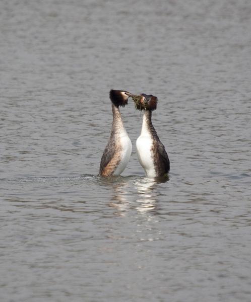 Dancing grebes by sheepdogshady