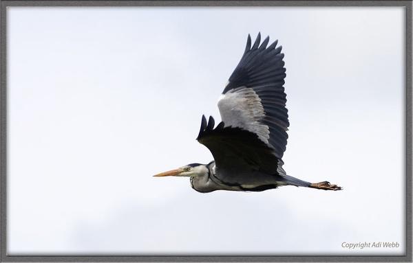 Grey Heron by Adi7r