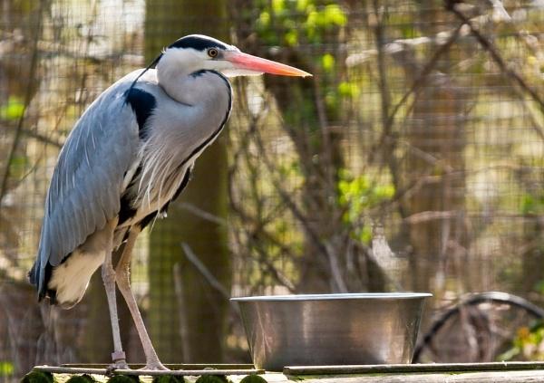 Heron at Herne by colmar
