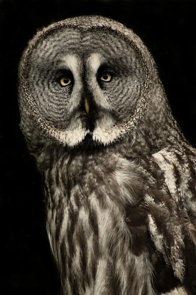 Grey Owl by AndrewAlbert