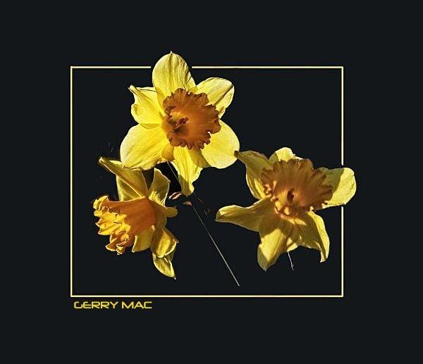 Daff trio by gerrymac