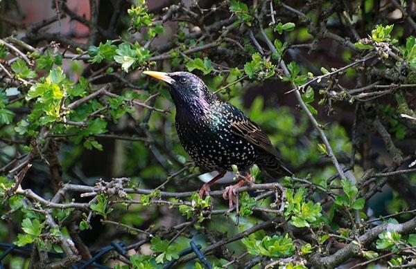 starling by chocky