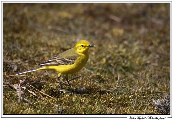 Yellow Wagtail (Motacilla flava) by Ray42