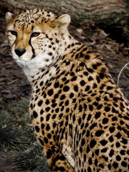 cheetah by tony147