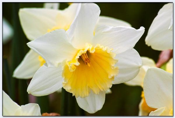 Daffodil by HuntedDragon