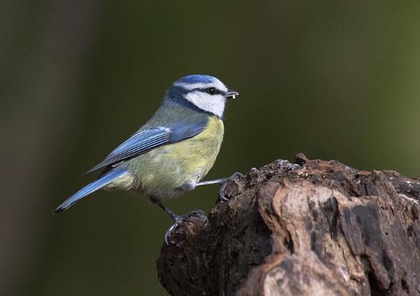 Blue Tit by Lorraine_Wallace