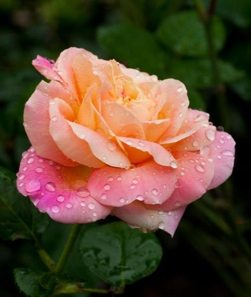 Rainy Rose VII by gjayesh