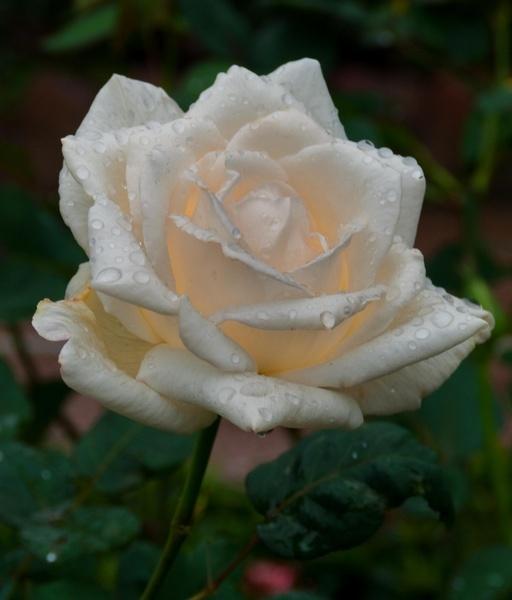 Rainy Rose VIII by gjayesh