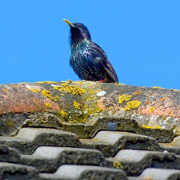 Starling by Nick_G