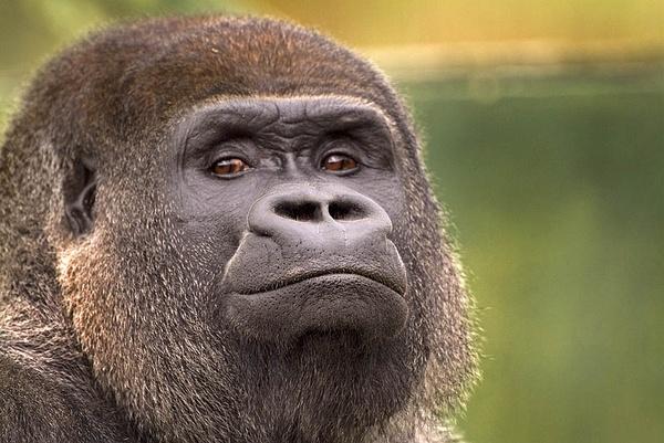 Silverback Gorilla by icphoto