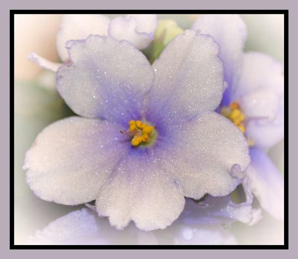 Purple African Violet by sherrbearsphotos