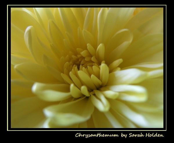 Chrysanthemum by SLH1979