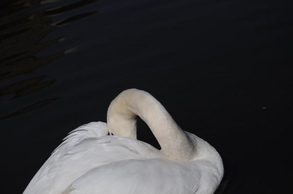 swan on black by annmackiemiller