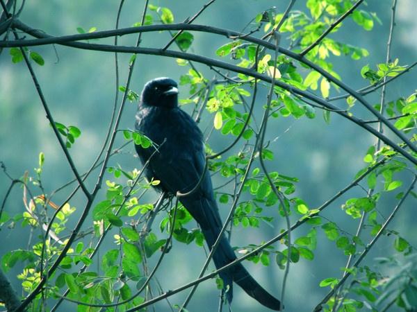 BLACK DRONGO BIRD by amitav