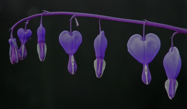 Bleeding Hearts by mondmagu