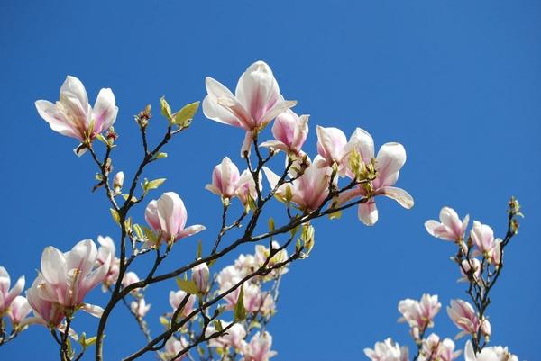 Magnolia by BobThomas