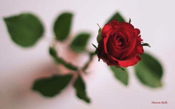 Red Rose by moe_101