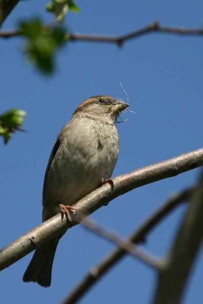 Sparrow by chrisvannamen