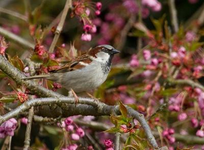 House Sparrow by Clint123