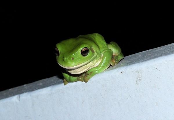 Green Tree Frog by JimHannnah