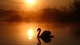 Swan Silouhette