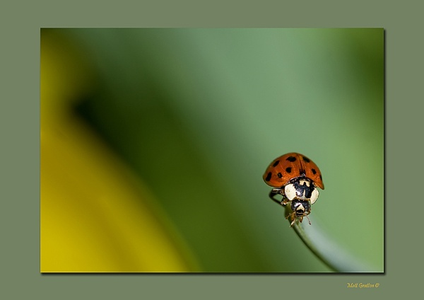 Ladybird by mohikan22