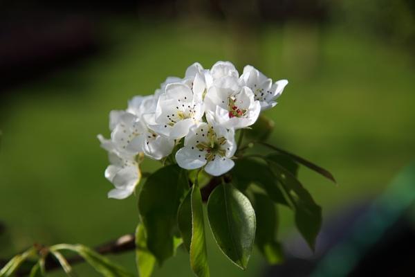 Pear Blossom by markharrop