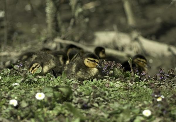 Ducklings by royd63uk