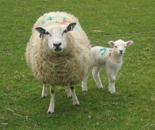 Ewes & Lambs by Glostopcat