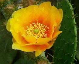 Apricot Cactus Flower