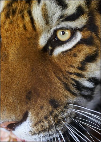 Tiger Eye by GPTek