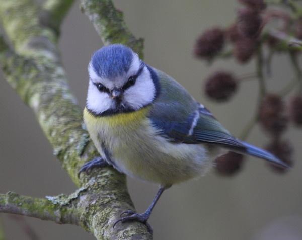 Blue tit by warbstowcross