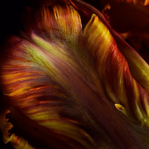 Parrot Tulip by Loudon