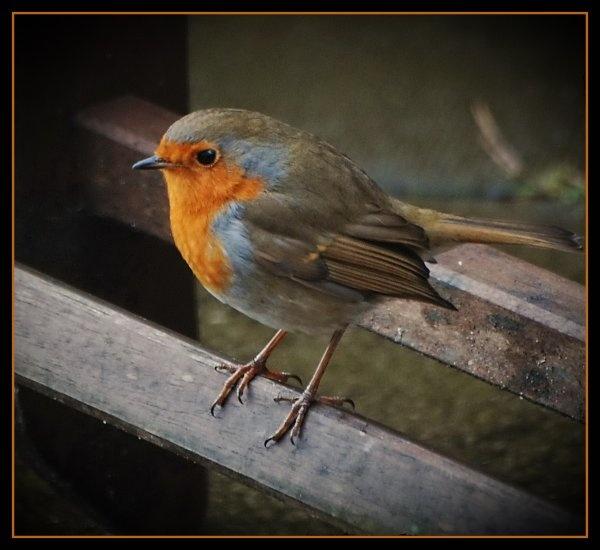 Robin by gerrymac