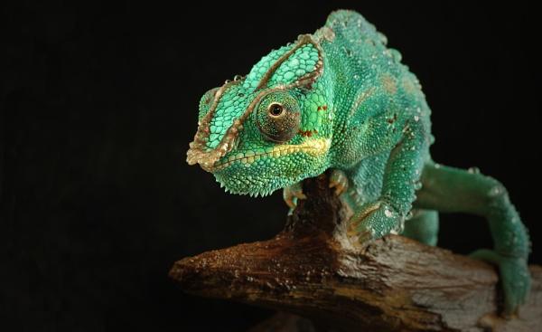 Chameleon by SurreyHillsMan