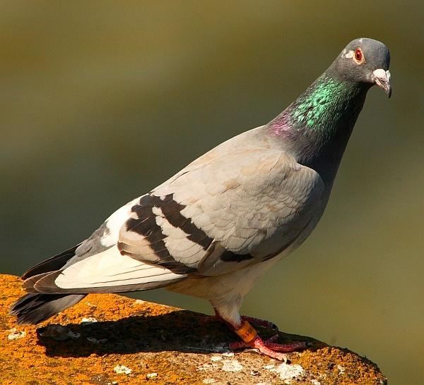 pigeon by bokeh